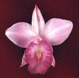 Orquídea Terrestre - Arundina graminifolia