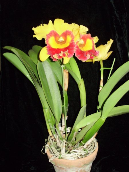 Orquidea Epífita - Blc Chunyeah 'Tzeng-Wen'